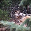 Mexican Gray Wolf by starbucksgirl26