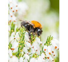 Tree Bumble Bee Photographic Print