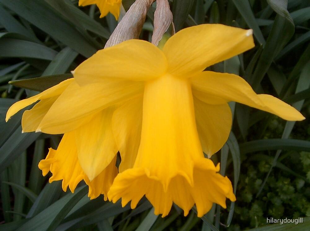 Daffodil heads for Erika15 on her Birthday by hilarydougill