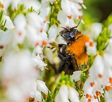 Tree Bumble Bee by Mark Bangert