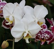 White Orchid by David  T Anderson