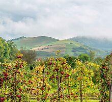Apple harvest below Bad Berg, Kaiserstuhl, Germany by Mark Bangert