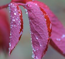 Raindrops On Rose Leaves by rumisw