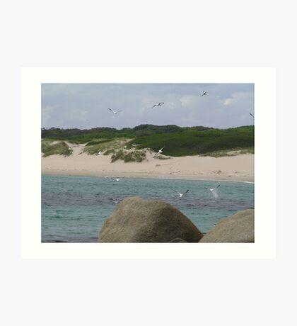 Gannets Fishing Art Print