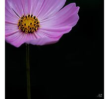 Cosmos on Black Photographic Print