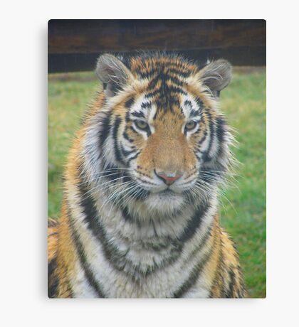 Bengal Tigress - Lily Canvas Print