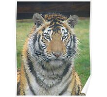 Bengal Tigress - Lily Poster