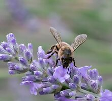 Bee on lavender flower spike by LindaCooke