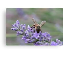 Bee on lavender flower spike Canvas Print