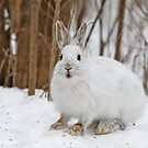 Snowshoe Hare by Jim Cumming