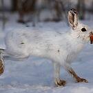Snowshoe Hare peels away by Jim Cumming