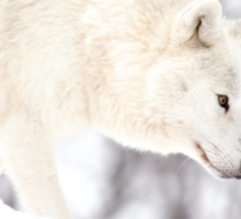 On The Prowl - Arctic Wolf Sticker