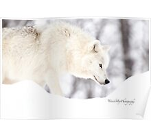 On The Prowl - Arctic Wolf Poster
