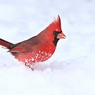 Lets kick up a little action - Northern Cardinal by Jim Cumming