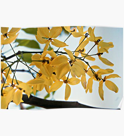 Yellow blossoms. Poster