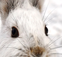 Snowshoe Hare closeup Sticker