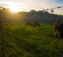 Cows in a Paddock A by Benjamin Smith