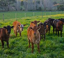Cows in a paddock B by Benjamin Smith