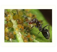 Ant-Aphid Symbiosis Art Print