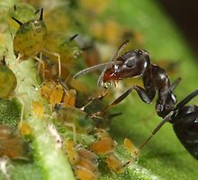 Ant-Aphid Symbiosis by Darren Post