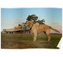 Golden Retriever B Poster