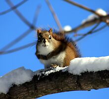 Squirrel On A Snowy Branch by HALIFAXPHOTO