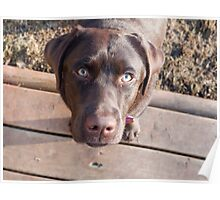 Chocolate Lab Puppy Poster