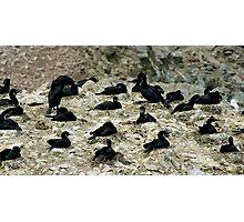 Breeding Brandt's Cormorants  Photographic Print