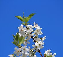 Pear Tree Blossoms Blue Sky by hummingbirds