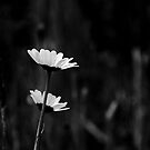Shy Daisies by Jenny Miller