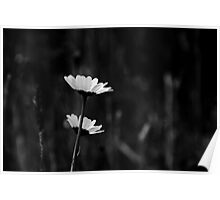 Shy Daisies Poster