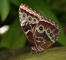 Close-up of a Common Blue Morpho Butterfly with Folded Wings by Laurel Talabere
