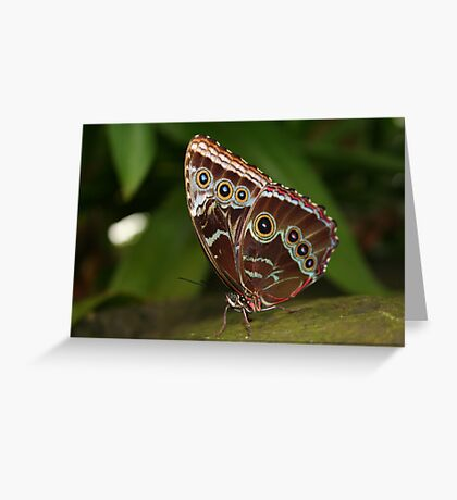 Close-up of a Common Blue Morpho Butterfly with Folded Wings Greeting Card