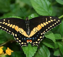 Eastern Black Swallowtail Butterfly with Open Wings by Laurel Talabere