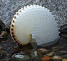 Paper Nautilus - nature at it's most delicate! by Roy  Massicks