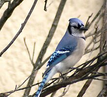 Blue Jay Perched in a Bush by Laurel Talabere