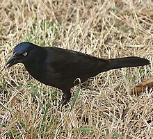 Common Grackle by Rick  Friedle