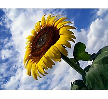 Epic Sunflower Photographic Print