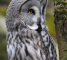 Lapland owl by mc27