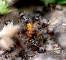 Ant Feast by LisaRoberts