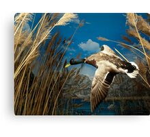 Natural environment diorama - a mallard  flying in the sky Canvas Print