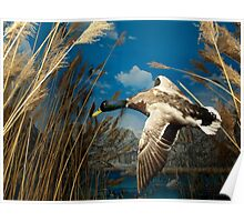 Natural environment diorama - a mallard  flying in the sky Poster