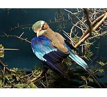 Natural environment diorama - bird with blue wings  Photographic Print