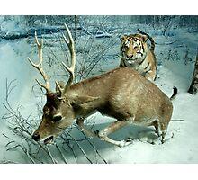 Natural environment diorama -  A deer escaping a tiger attack  Photographic Print