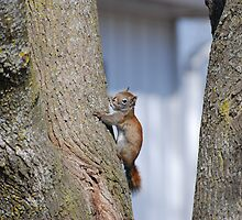 American  Red Squirrel by Lynda   McDonald