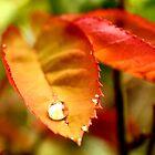 Golden Red Droplet by jayneeldred