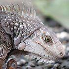Iguana  by ZeeZeeshots