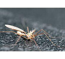 Crane Fly...aka Mosquito Hawk here in Texas Photographic Print