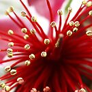 Flower of the Feijoa tree  by Bev Pascoe