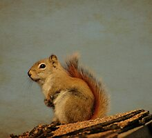 American red squirrel by lumiwa
